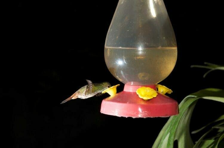 Hummingbird photographed in flight