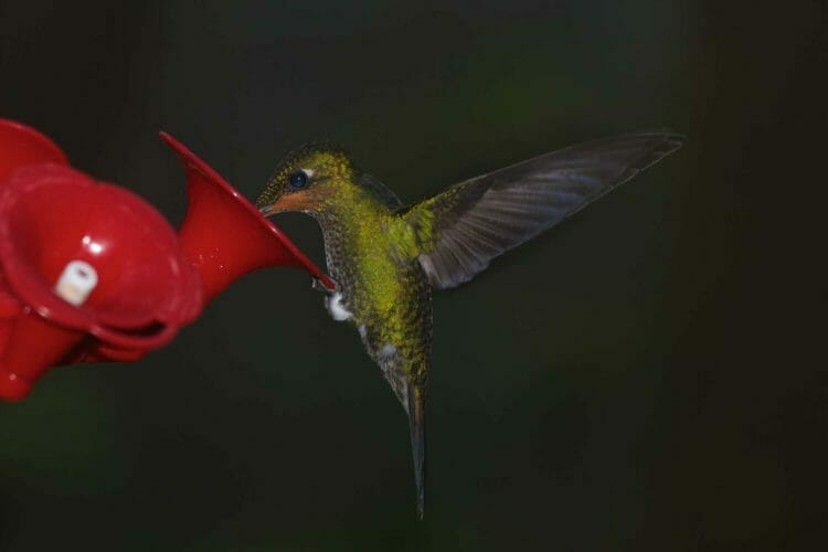 Hummingbird flaps wings while sitting