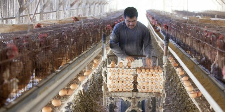 Conventional egg production