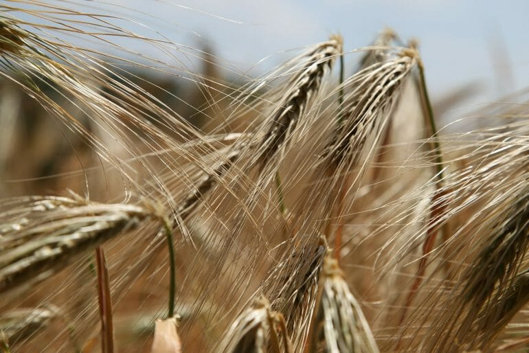 Gluten are a protein found in Wheat and other grains