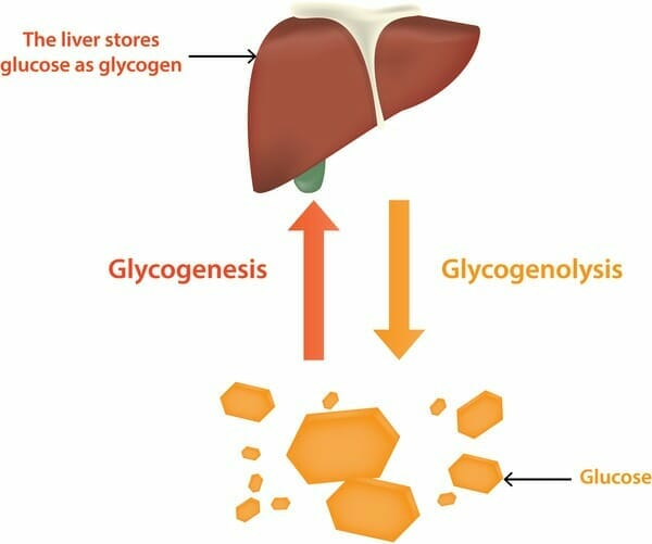 How the body converts glucose into glycogen and vice-versa