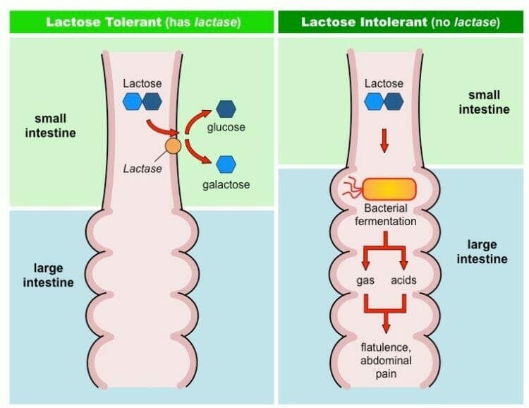 Breakdown of lactose by the enzyme lactase