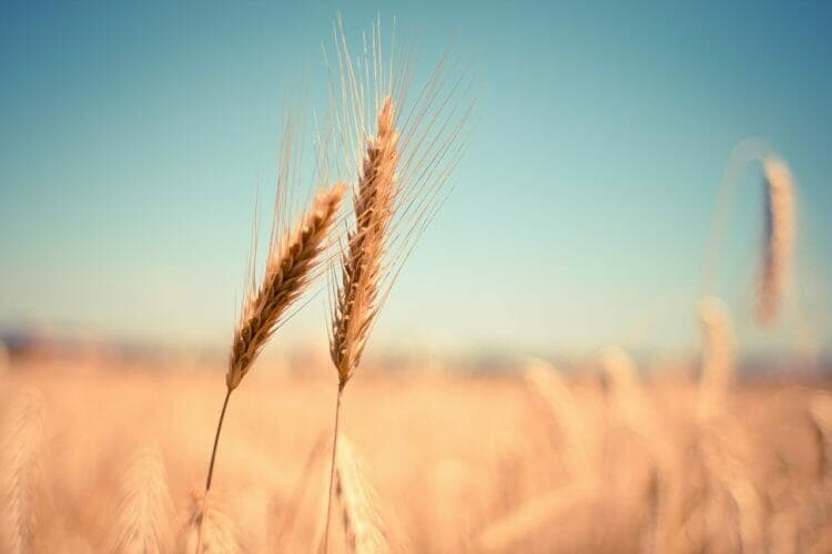 Wheat has inflammatory proteins such as gluten