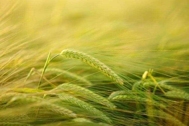 Barley is a source of gluten