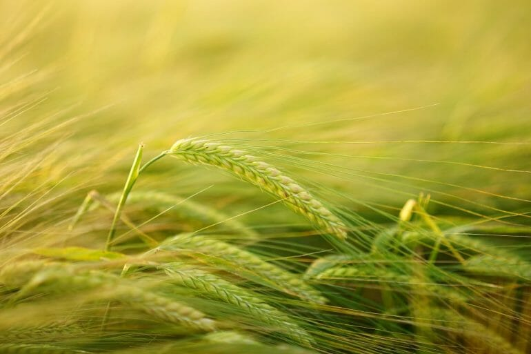 Barley is a source of gluten
