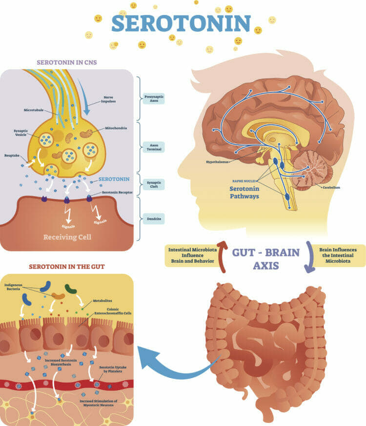 The Gut-Brain Axis Connects your Gut with Your Brain