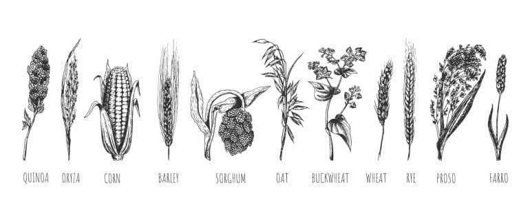 Wheat, rye, oat, barley, proso millet, farro, quinoa, corn maize, buckwheat, oryza, rice, sorghum.