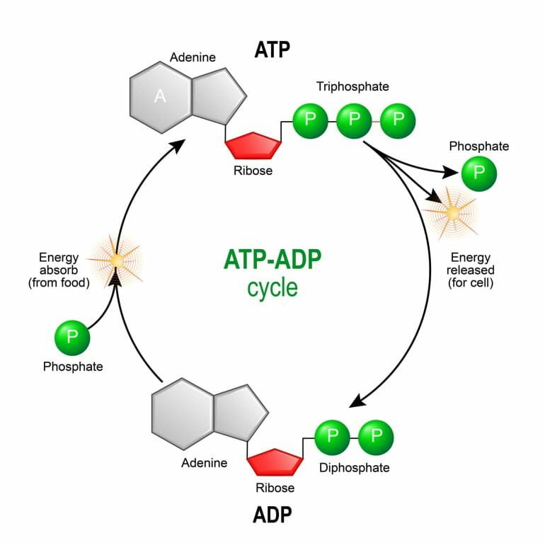 ATP is the energy currency of the body