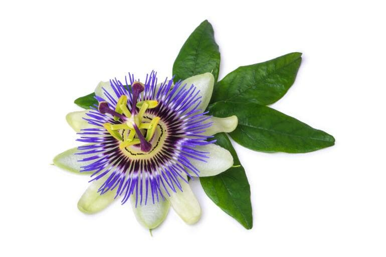 Passion Flower might help improve sleep