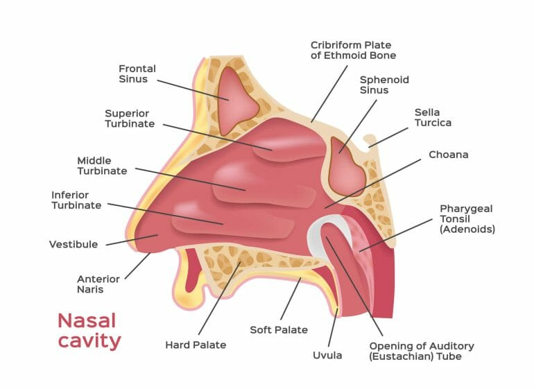 Nasal cavity anatomy