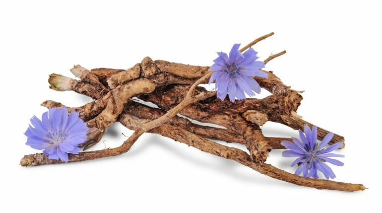 Dry roots of chicory and three cichorium flowers