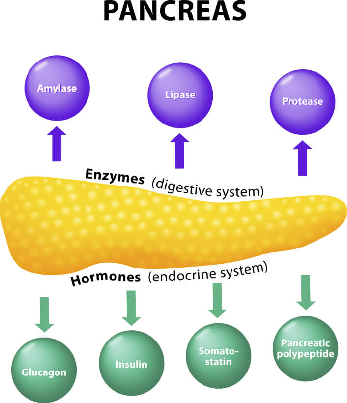 Pancreas and its function