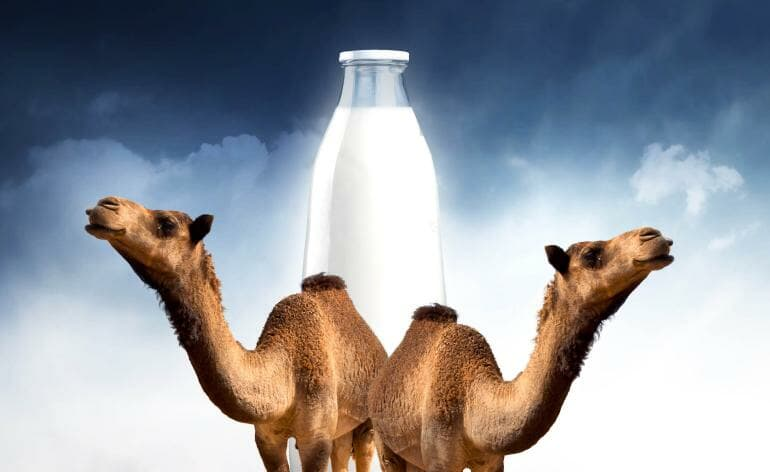 What are the health benefits of camel milk