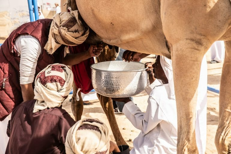 Nomads milking a camel copy