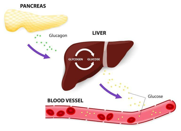 Liver releases glycogen