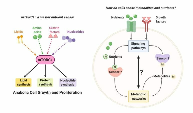 Cellular nutrient sensing