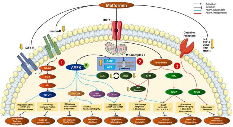 How metformin influences age-related processes in the body.