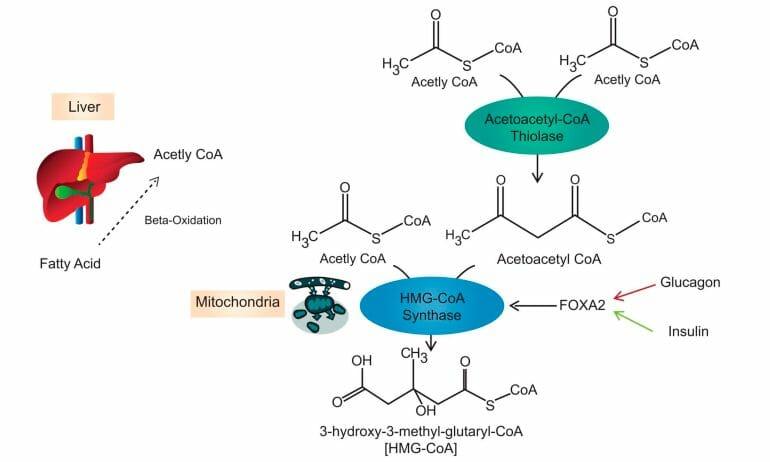 ketogenesis pathway