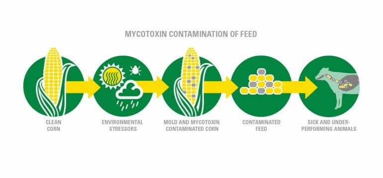Infographic explaining mycotoxins